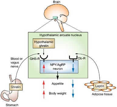 Source: http://www.precisionnutrition.com/wordpress/wp-content/uploads/2011/02/leptin-and-ghrelin-action-in-hypothalamus.jpg